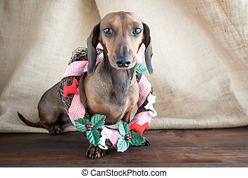 Christmas red dachshund dog on wood