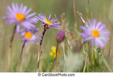 Alpine Aster - Aster flower alpinus