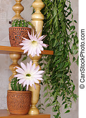 "flowers of cactus ""Echinopsis hybr\"" and \""hoya carnosa\""..."