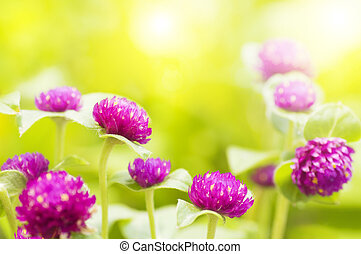 Garden view in morning. - Globe amaranth or Gomphrena...