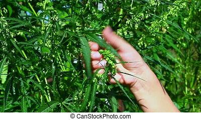 Woman near cannabis plant