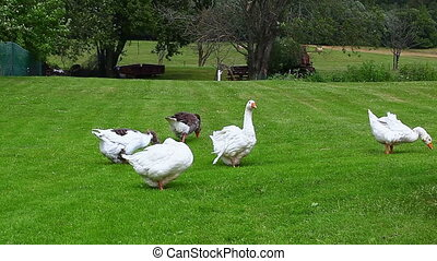 Gooses grazing in meadow