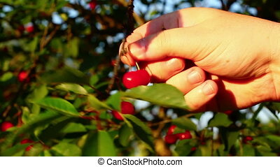 Hand with cherries