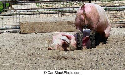 Pigs sleeping in mud
