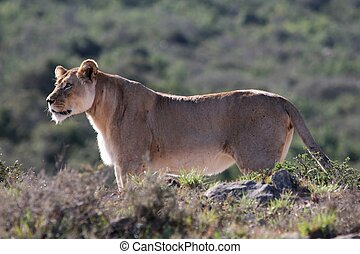 Lioness Alert - Female lion or lioness stalking in lake...