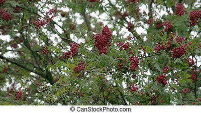 Bunch of Sorbus fruits bloomed on its trees with green...