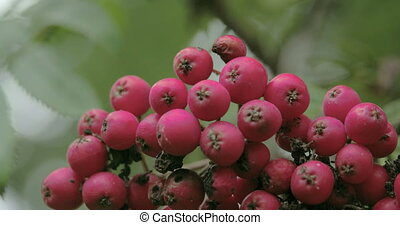 Close up look of the bottom of the European Rowan fruit that...