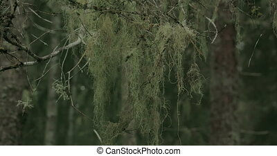 A thick beard lichen hanging on the stem of a spruce tree.