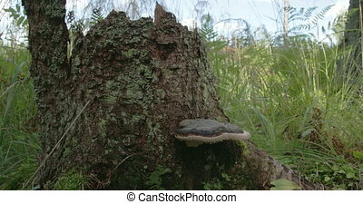 A polypore mushroom found on a trunk of a tree FS700 4K - A...