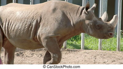 The big body rhinoceros walking on inside his cage FS700 4K...