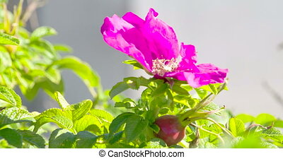The violet flower bell on the plant hanging
