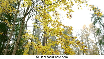 The maple tree around the small river in the forest with...