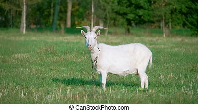 A white domestic goat standing on the farm seems looking for...