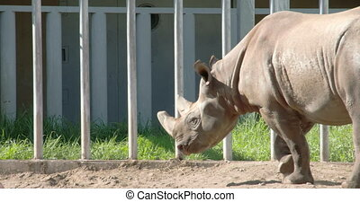 A big brown Rhinoceros walking on the yard the rhino has...