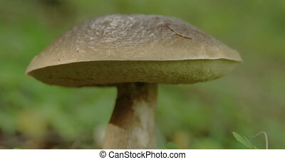 Close up view of the brown and fat Leccinum mushroom....