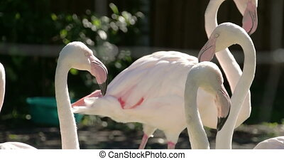 Six white and pinkish long neck flamingos flocking....