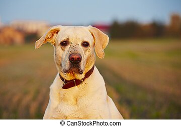 Dirty dog - Dirty labrador retriever on the field at sunset...