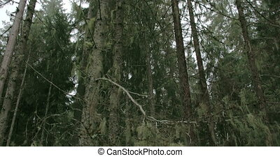Lots of Usnea hanging on the trees in the forest White beard...