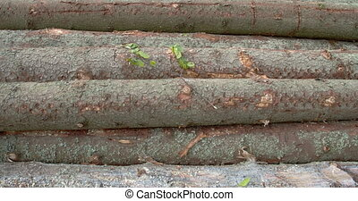 The body of the logs from the spruce trees A spruce is a...