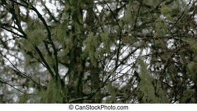 White Usnea hanging on the stem of the tree It is sometimes...