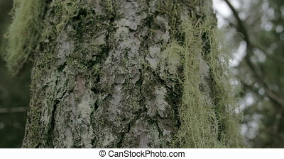 Close up look of the beard lichen attached on the spruce or...