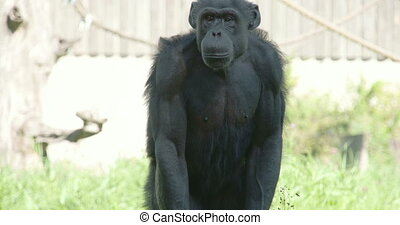 Black chimpanzee standing and sitting on the grass...