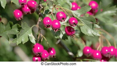 Closer look of the shiny red hawthorn fruits with the trees...