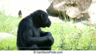 A black common chimpanzee sitting on the grass looking...