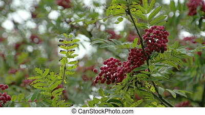 Lots of Sorbus fruits on the European Rowan tree with its...
