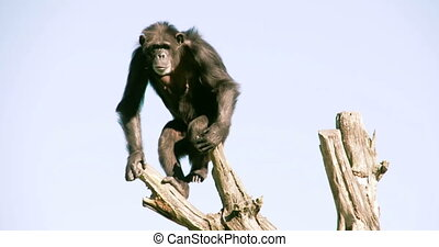 Pan troglodytes or chimpanzee is going down from the tree...