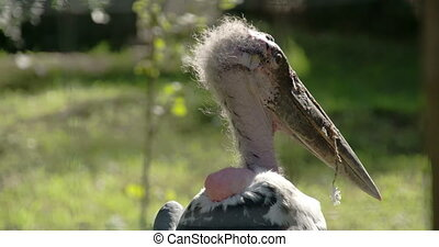 The hairy head of the marabou stork looking around the area...