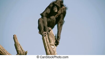 A black chimpanzee on top of a stem FS700 4K - A black...