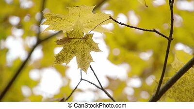 Golden view of the maple leaves on the maple tree FS700 4K -...