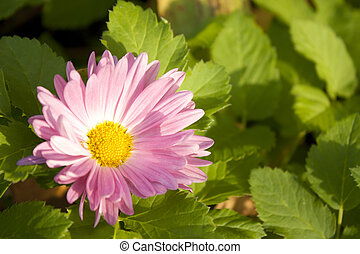 Image of beautiful purple daisy flower on green background