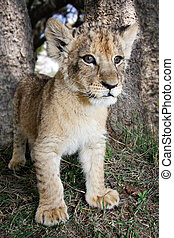 Lion cub looking around his surroundings