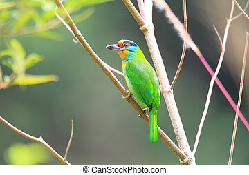 Black-browed Barbet Megalaima oorti in Sumatra, Indonesia