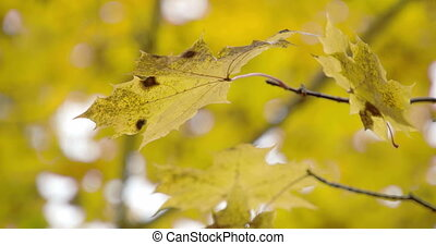A golden maple leaf from the stem slowly moving on the...