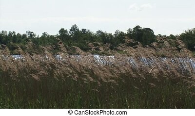 reed waving in wind - wide shot. Reed cultivation in...
