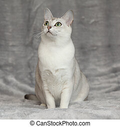 Amazing Burmilla in front of silver blanket - Amazing white...
