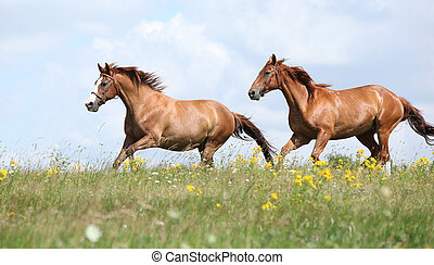 Two chestnut horses running together