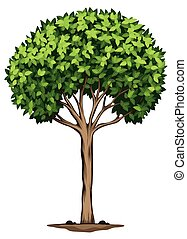 A Laurus nobilis tree - Illustration of a Laurus nobilis...