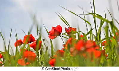 Field with the blossoming red poppies