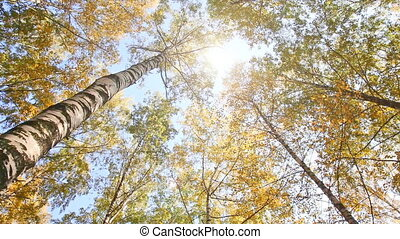 Autumn birchwood in a sunny day, the bottom view, rotation