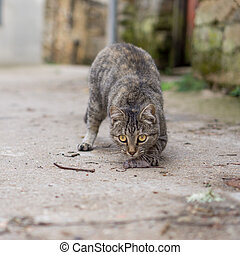Stray cat just hunted a mouse - Front view of stray cat with...