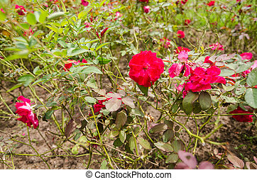 Red rose flower - red rose flower in the garden or in the...