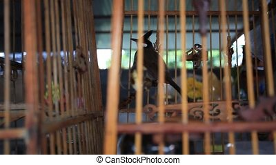 Common Myna birds in a cages on Thailand. HD. 1920x1080 -...