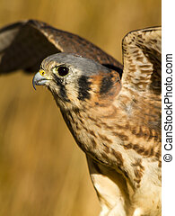 American Kestrel Falcon in Autumn Setting - Female Kestrel...