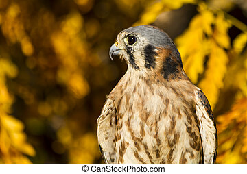 American Kestrel Falcon in Autumn Setting - Side view of...