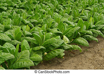 cultivated Tobacco 07