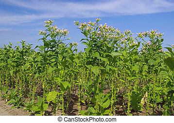 cultivated Tobacco 12